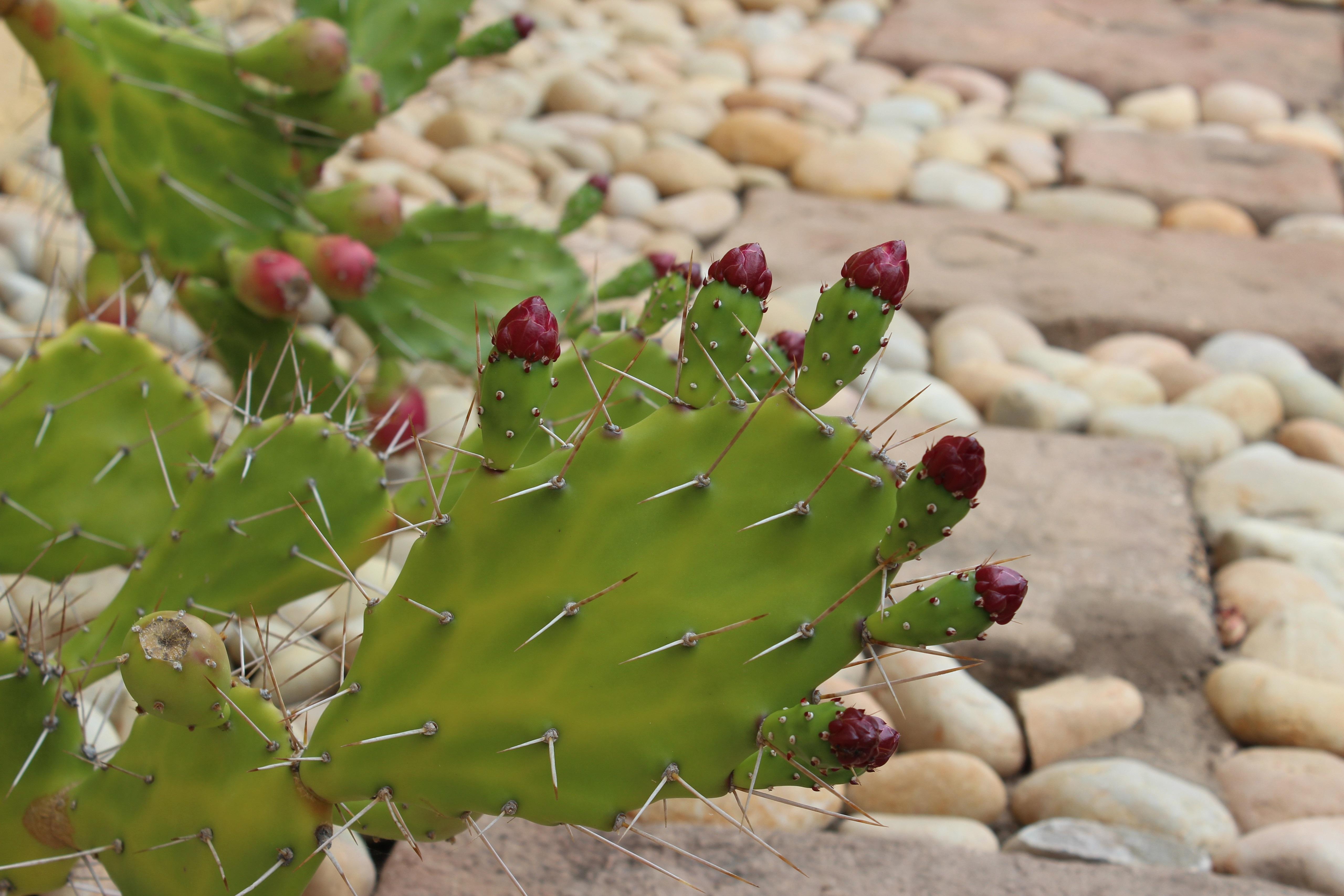cactus flowers wallpaper 4k 5k background