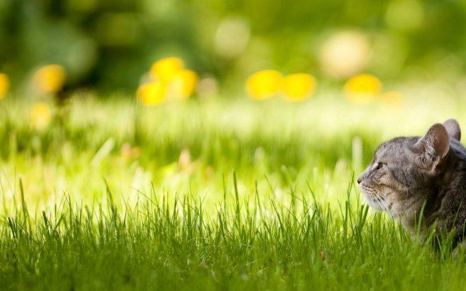 cat in green grass wallpaper background