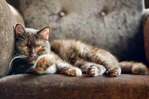 Cat on Sofa Wallpaper Background