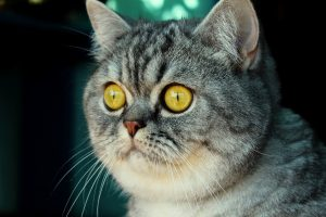 Cat Yellow Eyes Wallpaper