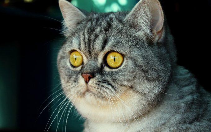 cat yellow eyes wallpaper