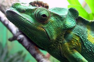 chameleon close up wallpaper background