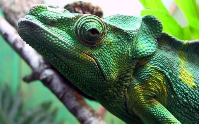 chameleon close up