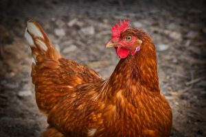 chicken, hen, hd, widescreen, wallpaper