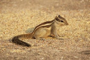 chipmunk close up wallpaper background
