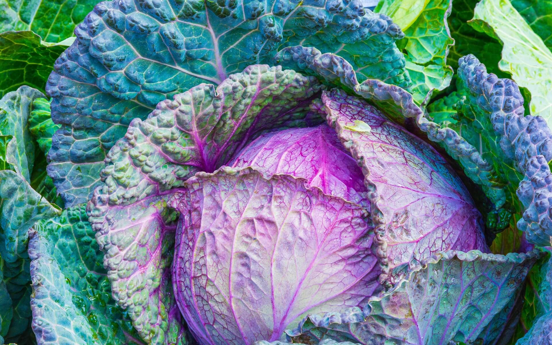 colorful cabbage wallpaper background