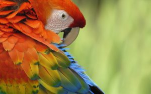 Colorful Parrot Wallpaper Background
