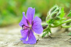 cranesbill flower wallpaper background