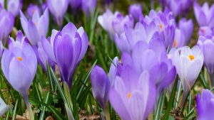 Crocus Flower Wallpaper 4K