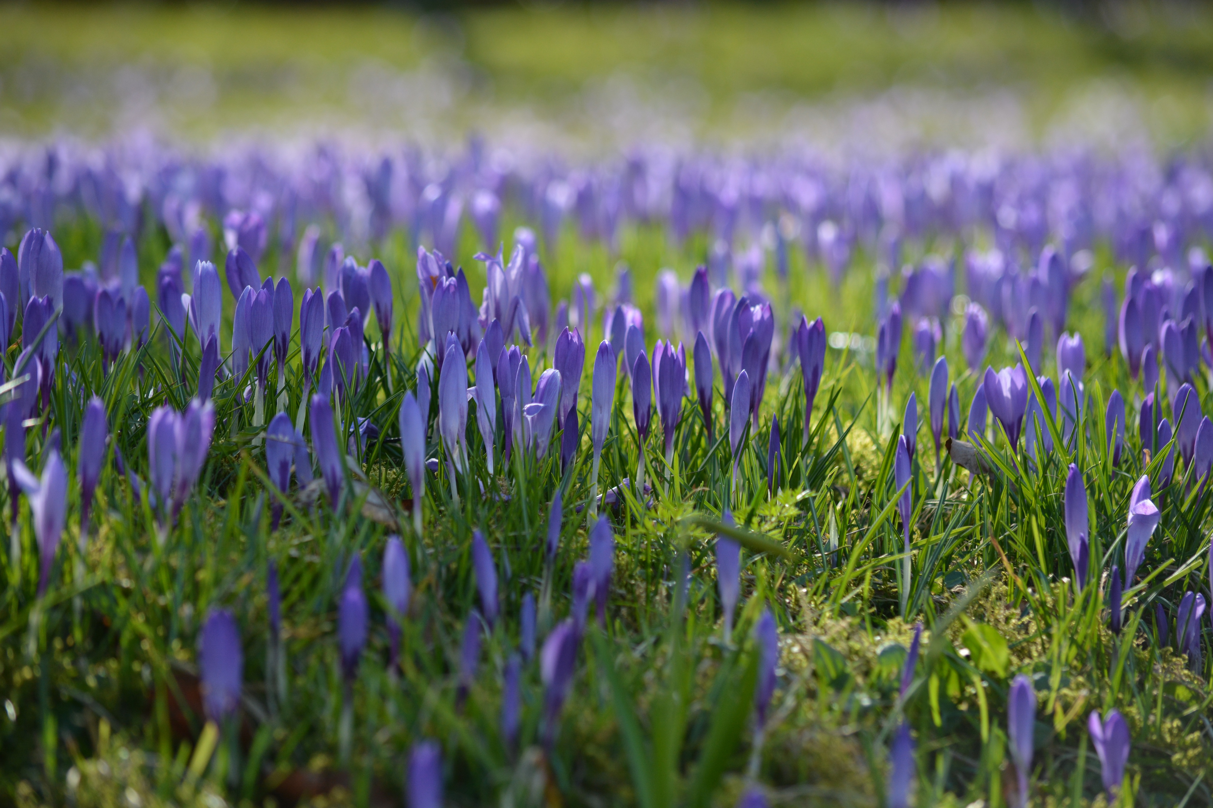 crocus flowers 5k wallpaper