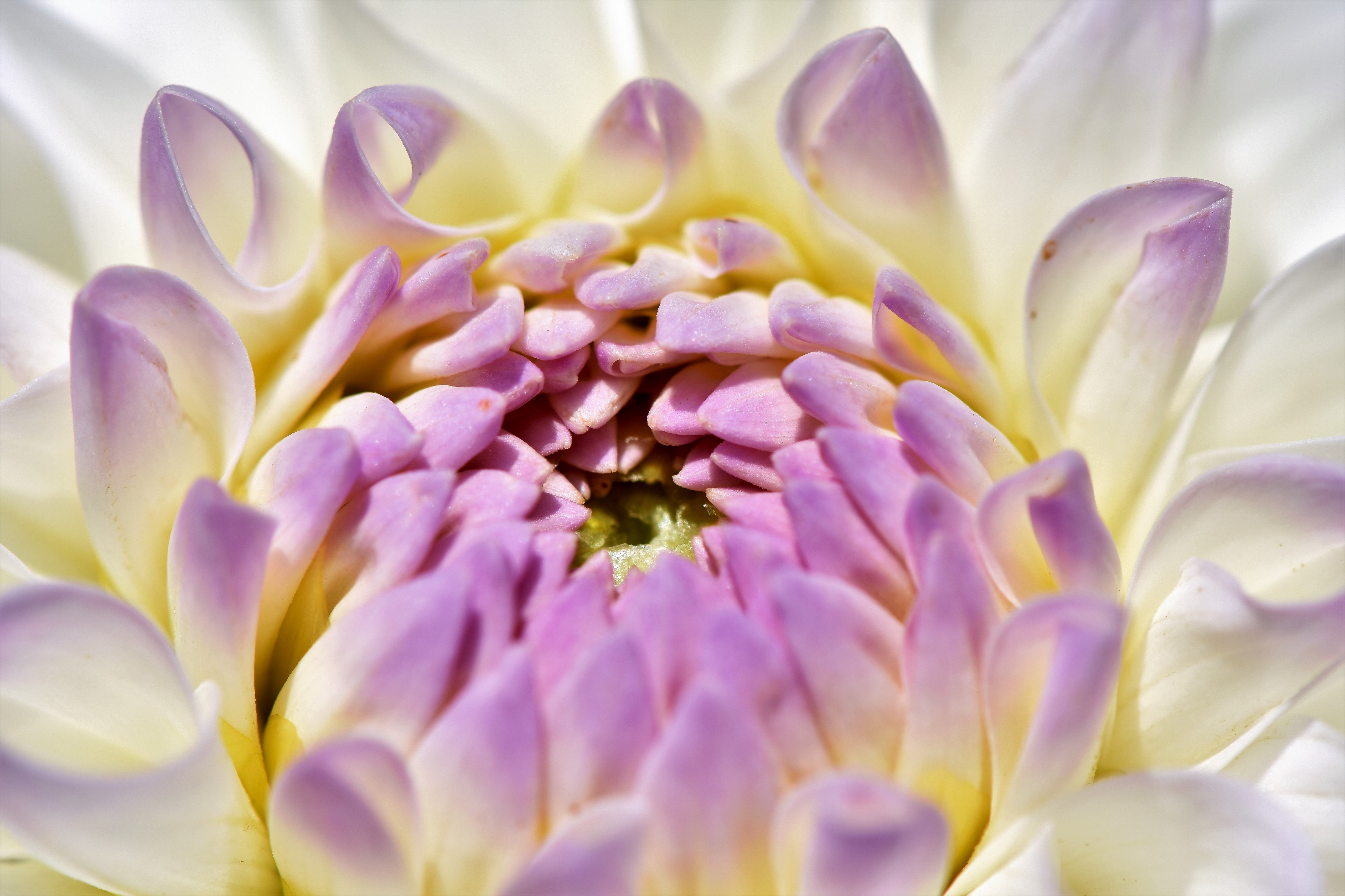 dahlia flower 4k 5k wallpaper