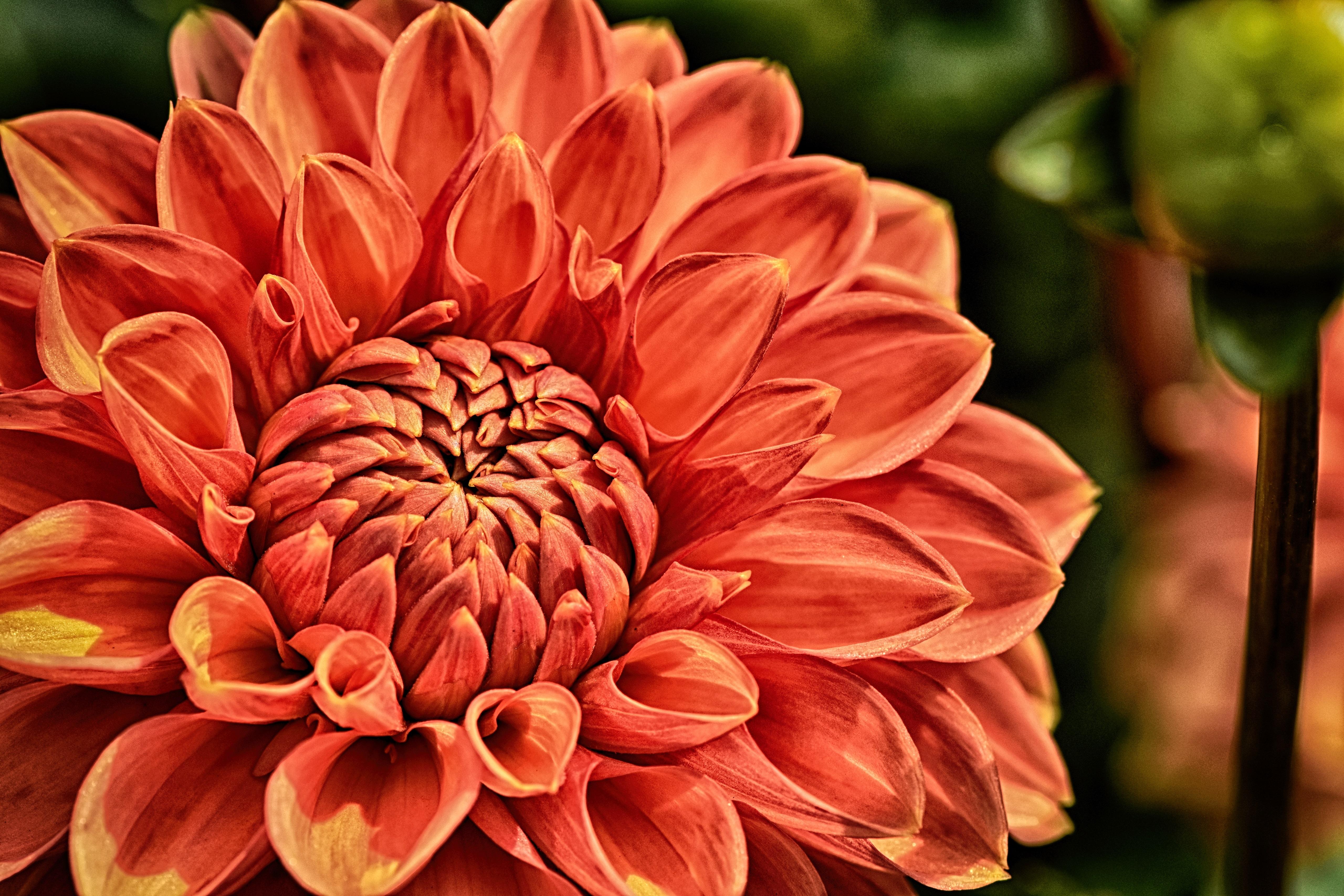 dahlia, flower, blossom, 4k, 5k, hd, widescreen, wallpaper