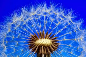 dandelion macro wallpaper