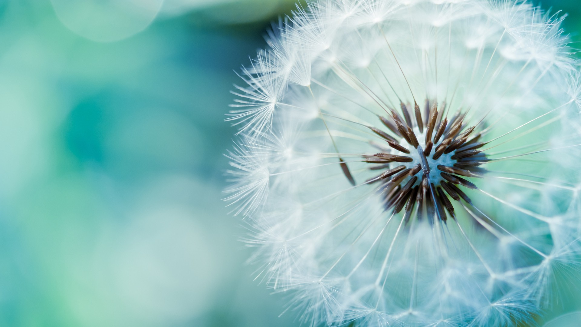 dandelions flower wallpaper background