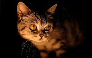Dark Brown Eyes Cat Wallpaper Background