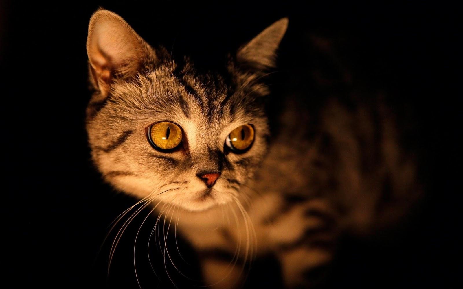 dark brown eyes cat wallpaper background