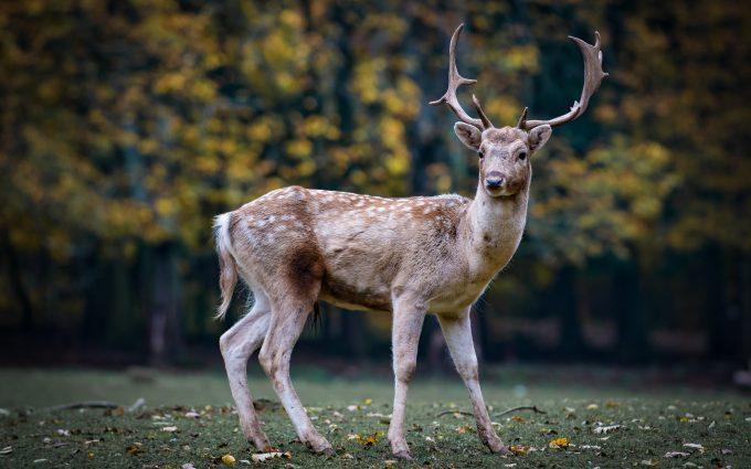 deer 4k 5k wallpaper