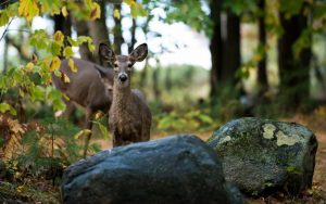 Deer Behind Rocks Wallpaper