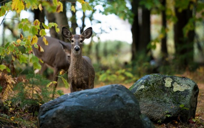 deer behind rocks wallpaper
