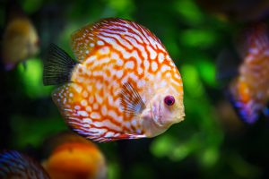 Discus Fish Wallpaper 4K 5K Background