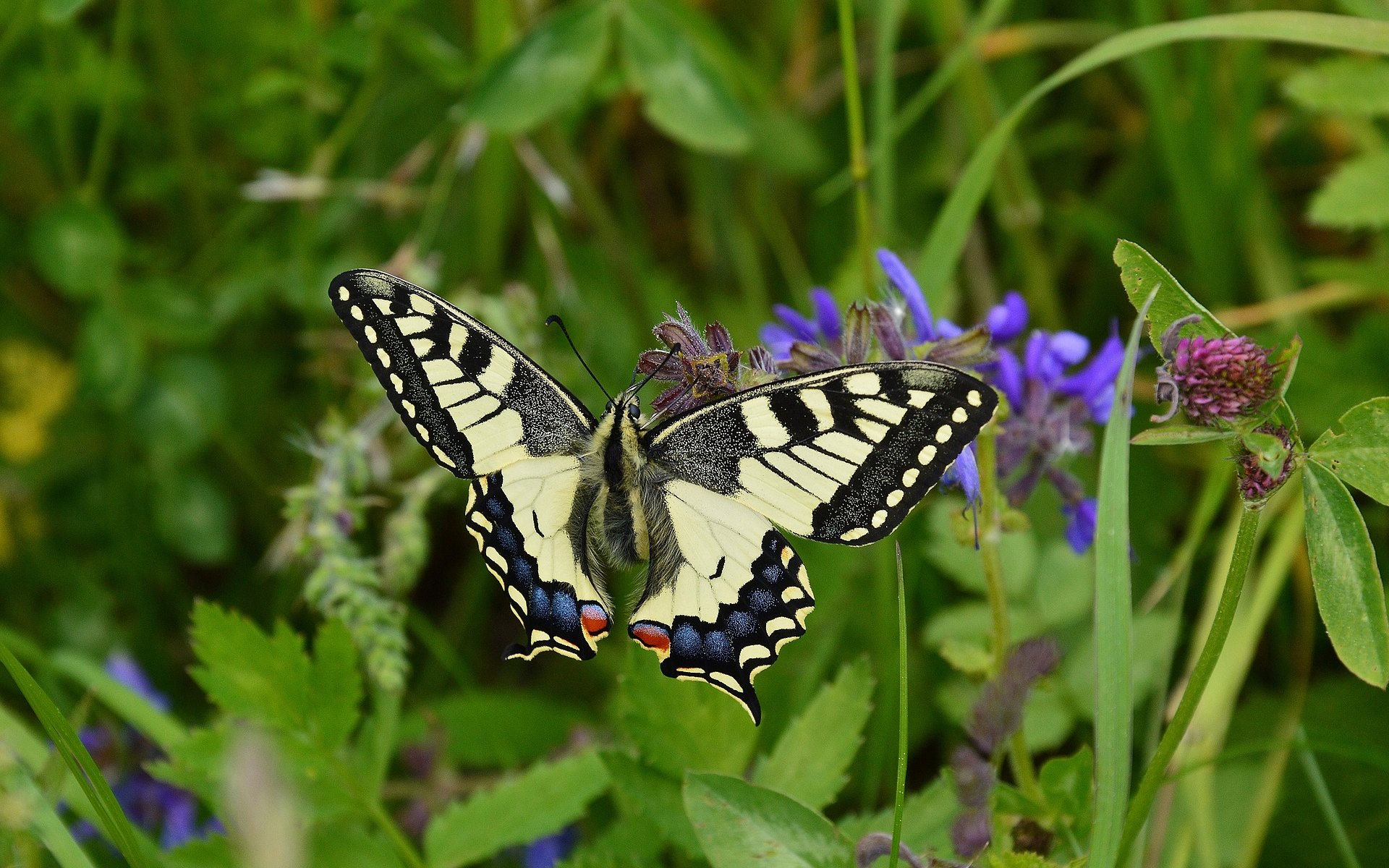 dovetail butterfly wallpaper background