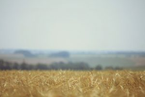 dry corn field wallpaper background