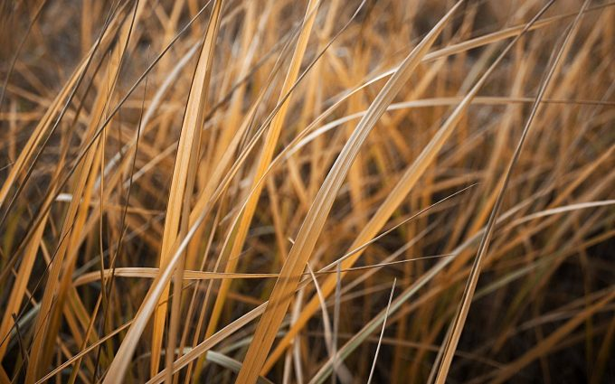dry grass wallpaper background