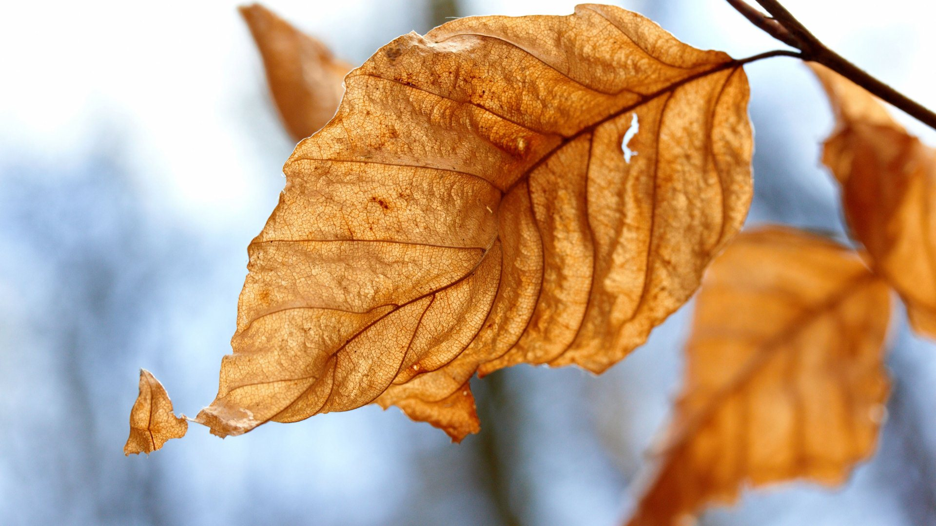 dry leaf wallpaper background