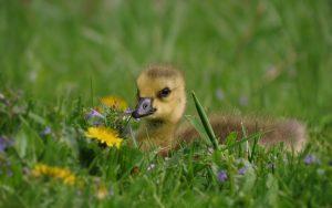 Duck Baby in Grass Wallpaper