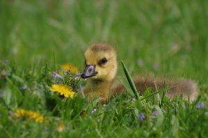 duck baby in grass wallpaper background