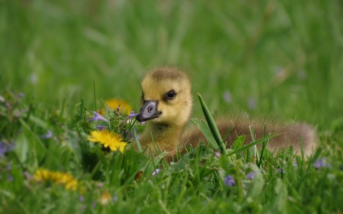 duck baby in grass wallpaper background