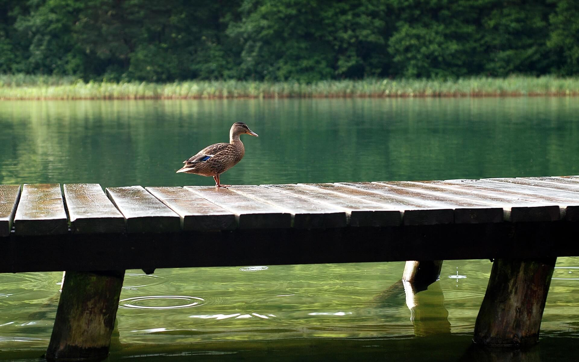duck on lake pier wallpaper background