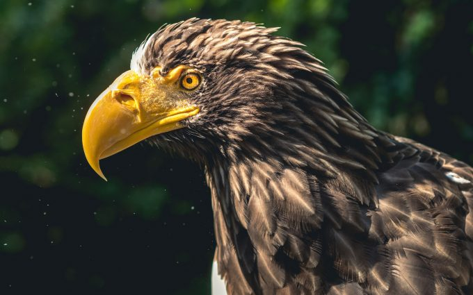 eagle bird 4k wallpaper background