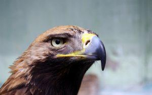 Eagle Eye Wallpaper Background