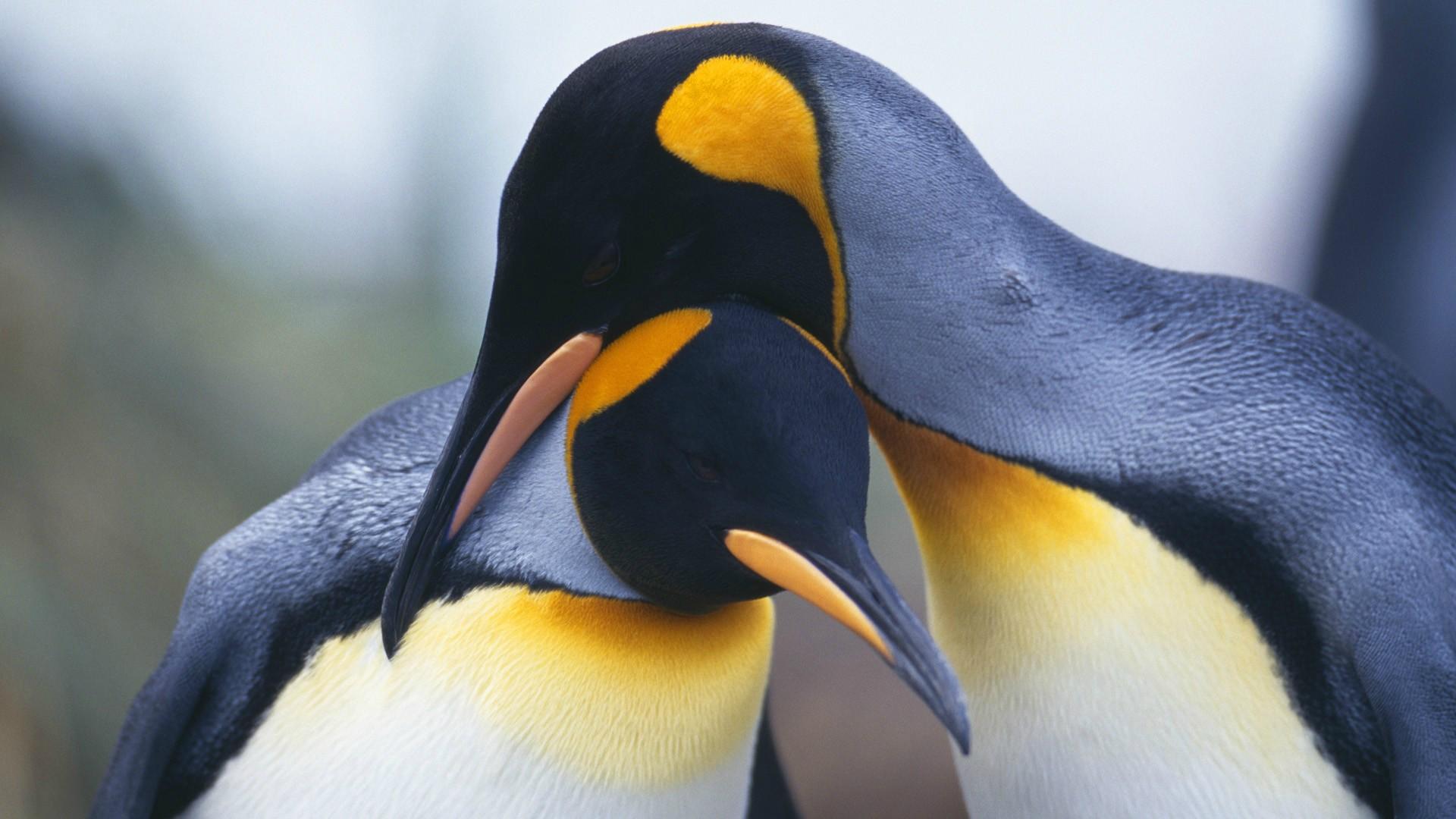 emperor penguins wallpaper background