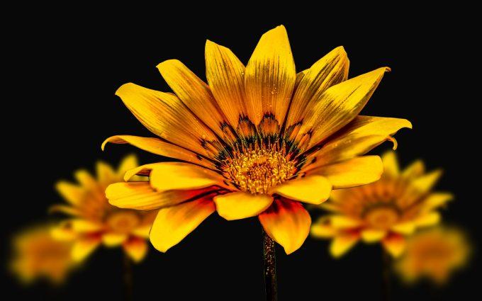 flower, gerbel, 4k, 5k, hd, widescreen, wallpaper