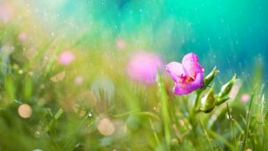 Flower in Rain Wallpaper Background