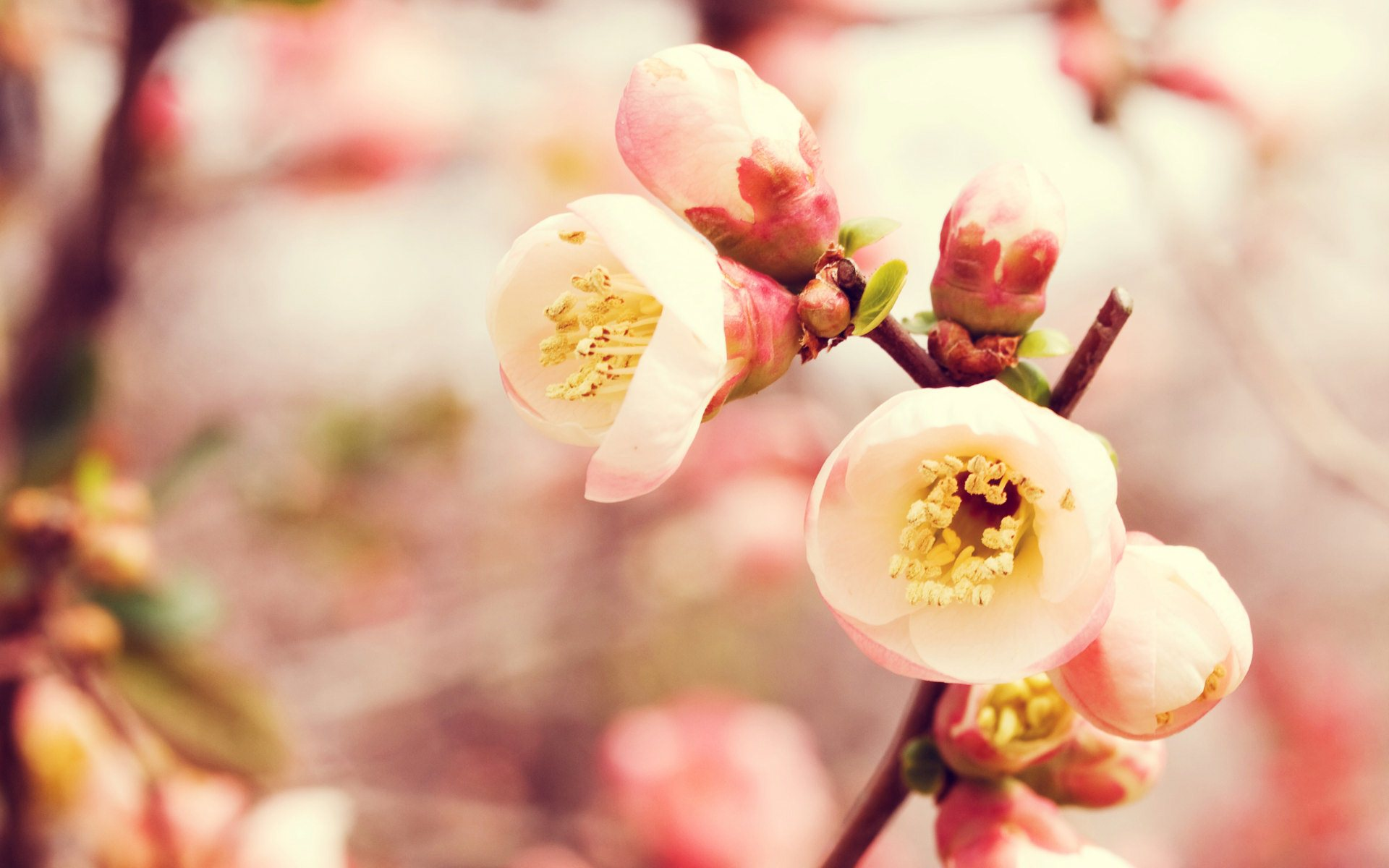 flowering quince wallpaper background