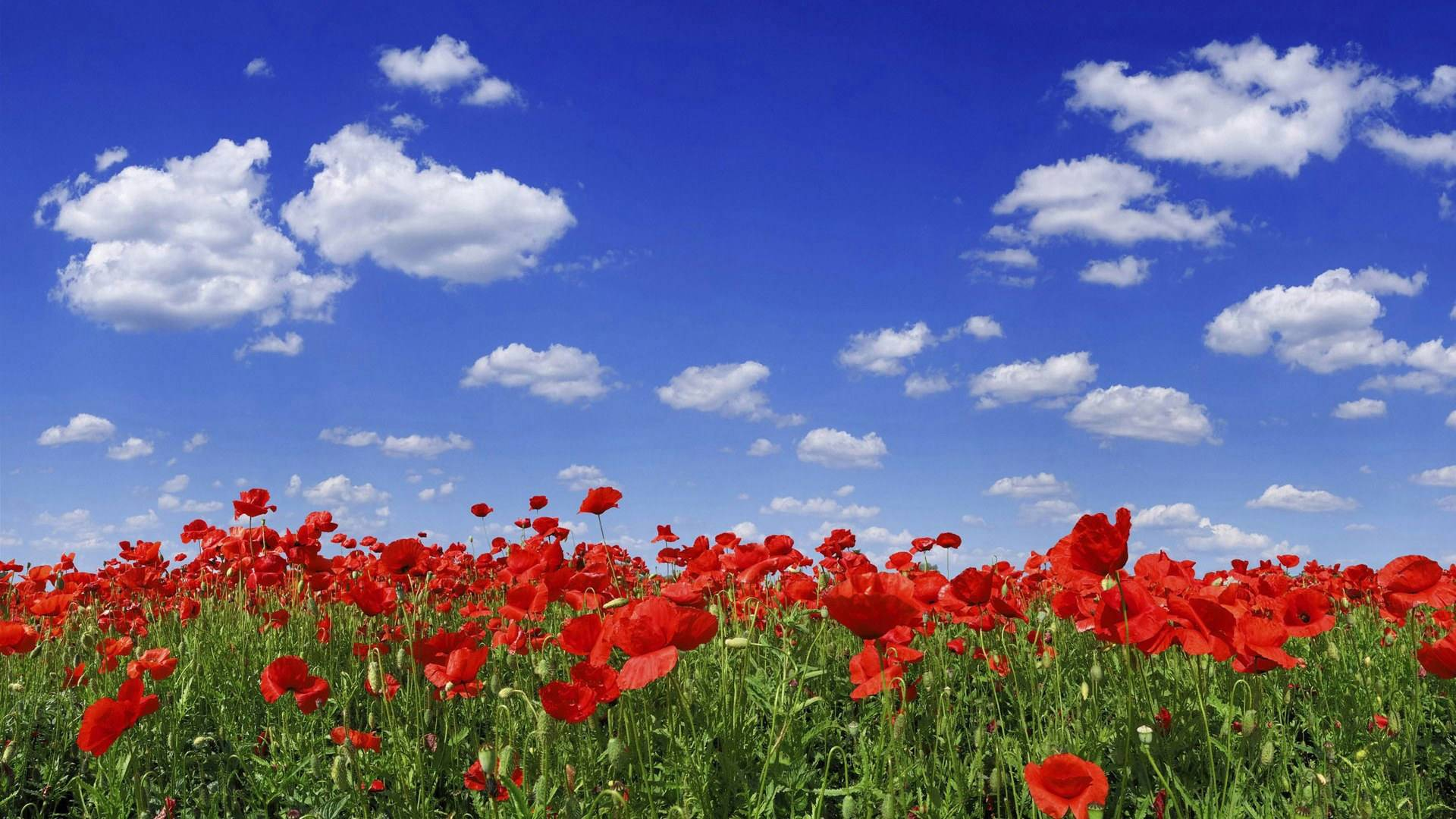 flowers under blue sky wallpaper