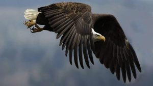 Flying Eagle Wallpaper Background