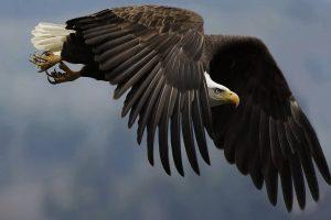 flying eagle wallpaper background
