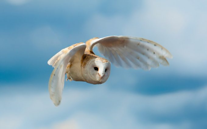 flying owl wallpaper background