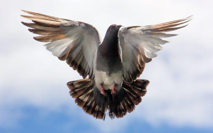 flying pigeon wallpaper 4k background