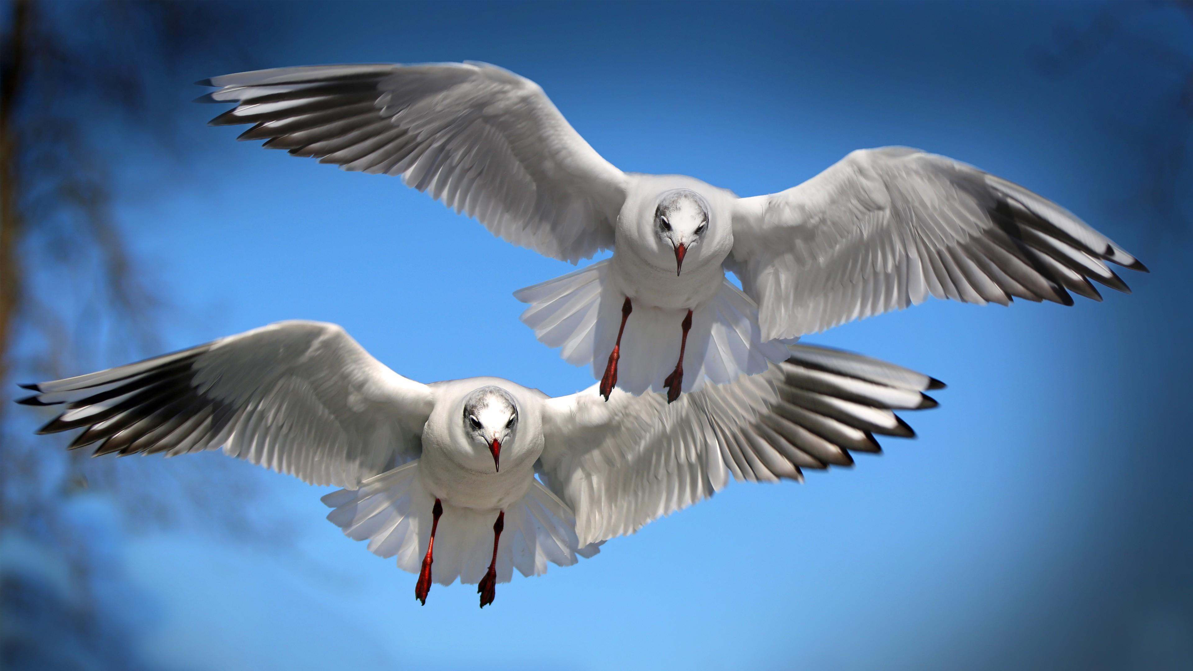 flying seagulls wallpaper 4k background