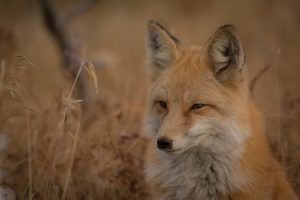 Fox Close Up Wallpaper 4K
