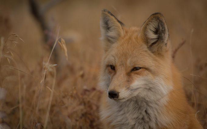 fox close up wallpaper 4k background