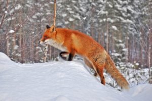 fox in snow wallpaper background
