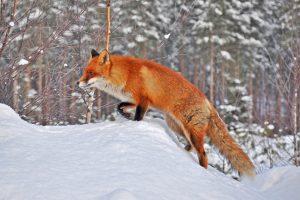 Fox in Snow Wallpaper Background