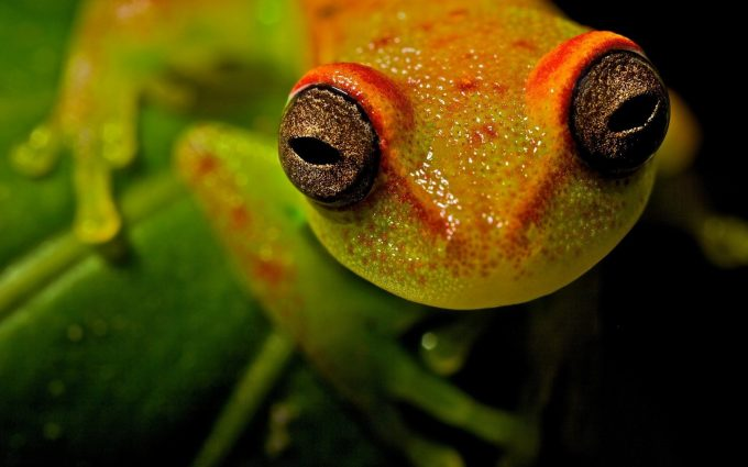 frog eyes wallpaper background