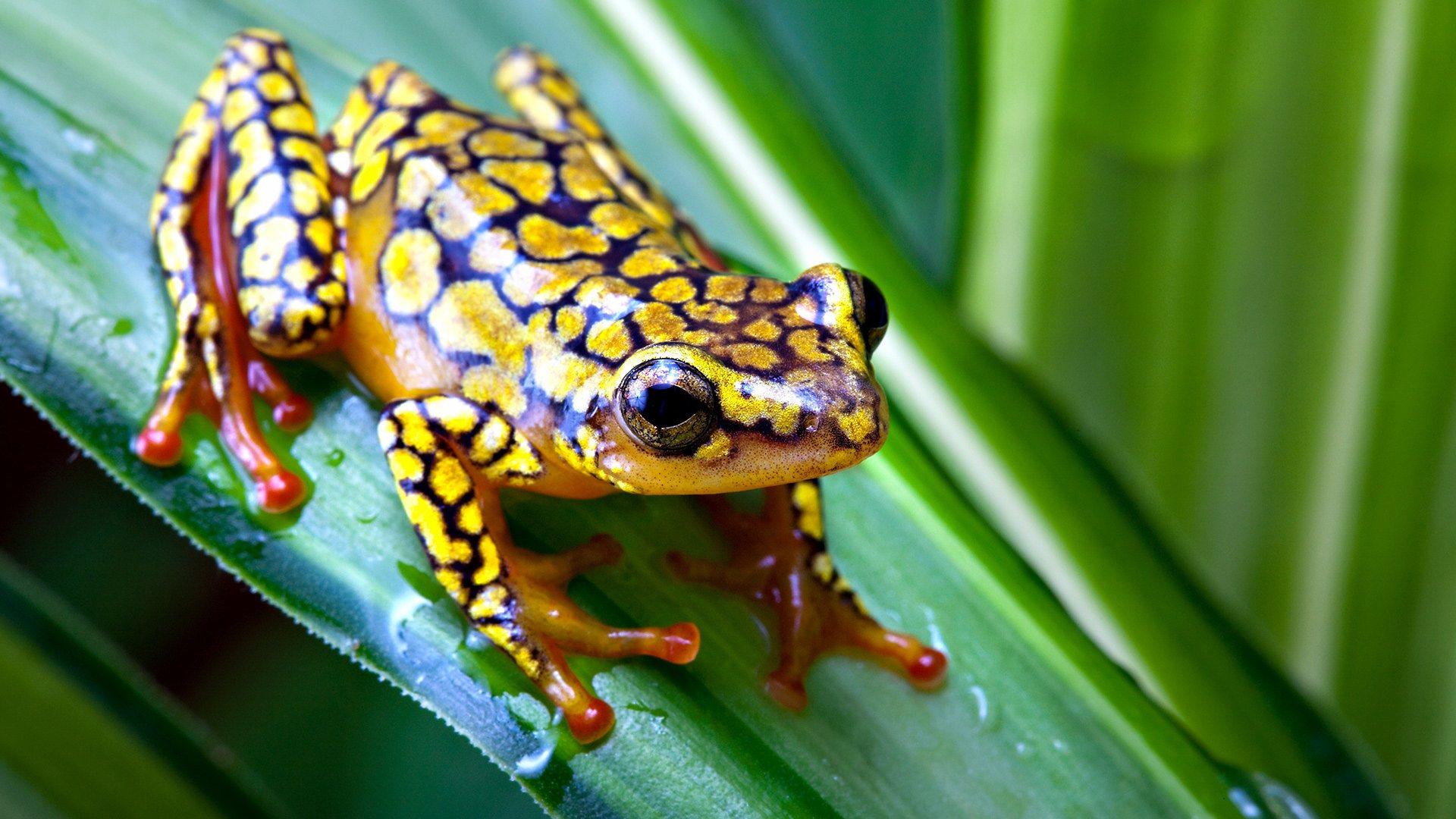 frog on leaf wallpaper background